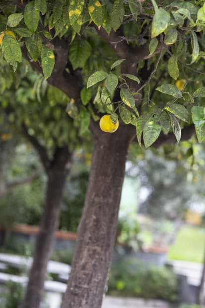 Marraskuussa pienet, happamat appelsiinit ovat kypsiä. Ja kuvauksellisia.
