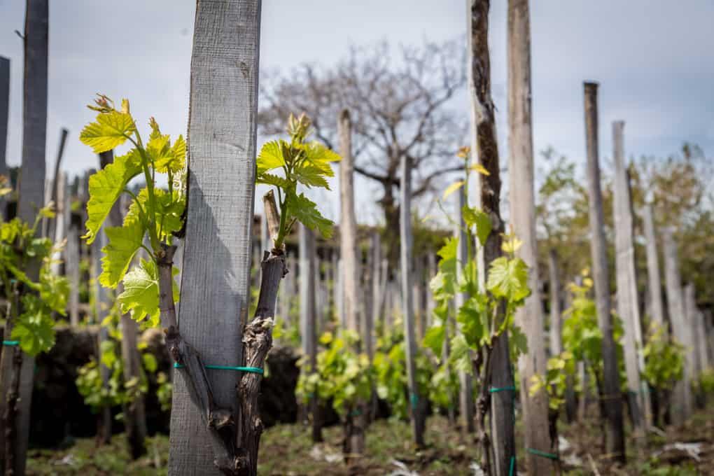 etnan viinit, viinimatka sisiliaan, sisilia, benantin viinit, cucumano, graci, sisilialaiset viinit, matka sisiliaan, sisilian viinitilat
