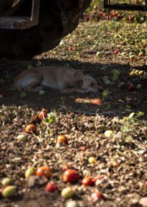 Tomaattikoira löysi suoja helteeltä korjuukoneen alta.