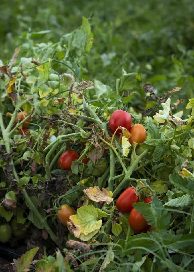 tomaattihummus, mutti tomaattipyree, hummusresepti, hummus ja pitasipsit